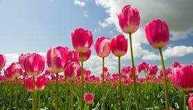 Zone rose de tulipe Image libre de droits