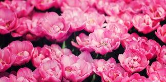 Zone rose de tulipes Photographie stock