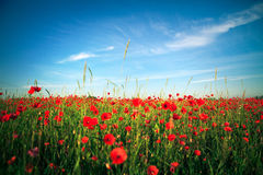 Zone rouge de pavot photos libres de droits