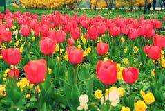Zone rouge des tulipes image libre de droits