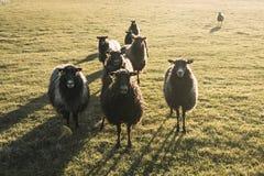 Zone rurale au Danemark avec le troupeau de moutons Photos libres de droits