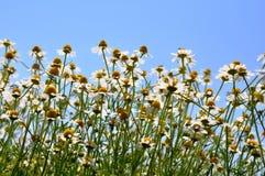 Zone sauvage de camomille d'or sous le ciel bleu Photo stock