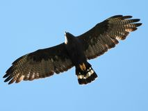 Zone-tailed Hawk in Flight Stock Image