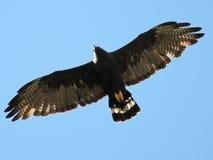 Zone-tailed Hawk in Flight Stock Image