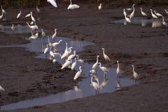 Zone umide e moltitudini di egrette di Snowy Immagine Stock
