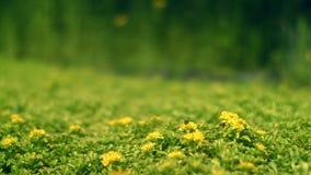 Zone verte avec les fleurs jaunes L'abeille rassemble le nectar sur la fleur Juste plu en fonction banque de vidéos