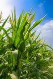 Zone verte de maïs grandissant Photos libres de droits