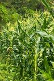 Zone verte de maïs grandissant Image libre de droits