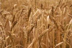 Zone Wheaten Photo stock