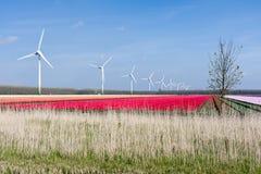 Zones colorées hollandaises de tulipe avec des turbines de vent Photo libre de droits