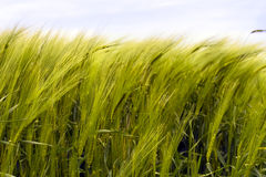 Zones de blé Photos libres de droits
