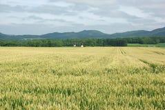 Zones de blé Images stock