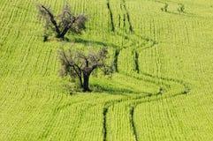 Zones de blé avec des traces Images stock