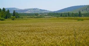 Zones de blé d'or Photographie stock libre de droits