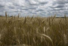 Zones de blé d'or Photos stock