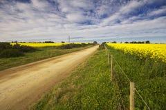 Zones de Canola avec une route de gravier entre Photo libre de droits