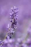 Zones de Lavander Photos stock