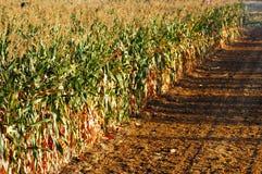 Zones de maïs Image libre de droits