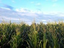 Zones de maïs image stock