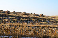 Zones de maïs après Harvestry photos libres de droits