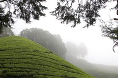 Zones de plantation de thé de montagnes de Cameron Image stock