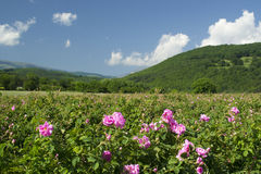 Zones de Rose photo libre de droits