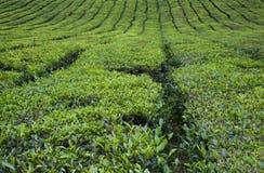 Zones de thé Photographie stock libre de droits