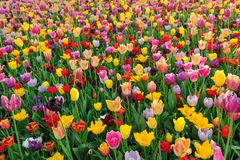 Zones de tulipe aux Pays Bas photo stock