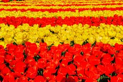 Zones de tulipe aux Pays Bas photos stock
