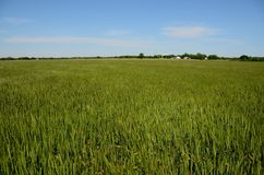 Zones EN BON ÉTAT de vert de blé photo libre de droits
