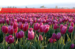 Zones no.2 de tulipes Photo stock