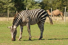 Zonkey Royalty Free Stock Photo