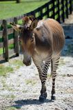 Zonkey in animal reserve Stock Photography