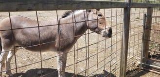Zonkey dans notre zoo photos libres de droits