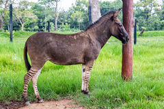 Zonkey, Half Zebra Half Donkey. Full body view of a zonkey which is a cross between a donkey and a zebra, seen in Colombia Royalty Free Stock Images