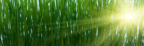 Zonlicht dat door gras glanst royalty-vrije stock foto's