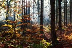 Zonlicht in de herfstbos Stock Afbeelding