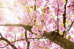 Zonlicht die door bloeiende kersenboom komen Royalty-vrije Stock Foto