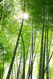 Zonlicht door bamboe Stock Afbeelding
