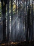 Zonlicht door de Bomen van een Verkoold Bos na Gecontroleerde Brandwond Royalty-vrije Stock Afbeeldingen