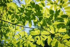 Zonlicht door groene en gele bladeren Haagbeuk Carpinus royalty-vrije stock afbeelding