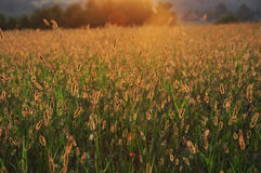 Zonlicht door het gras Royalty-vrije Stock Foto's