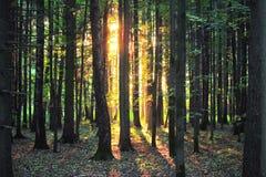 Zonlicht in het bos bij zonsopgang Stock Afbeelding