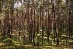 Zonlicht in het bos met bomen en installaties Het landschap van streeft na stock foto's