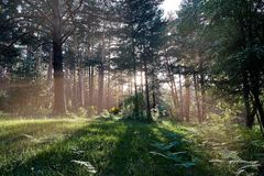 Zonlicht het breken door boomboomstammen royalty-vrije stock foto