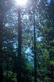 Zonlicht het richten door de sparren in het bos Stock Foto