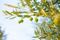 Zonlicht op een takje van een olijfboom Royalty-vrije Stock Afbeeldingen
