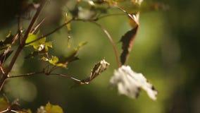 Zonlichtonderbrekingen door de groene bladeren van esdoorn stock video
