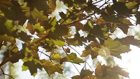 Zonlichtonderbrekingen door de groene bladeren van esdoorn stock videobeelden