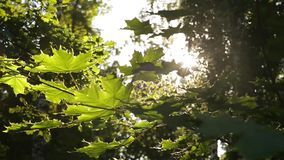 Zonlichtonderbrekingen door de groene bladeren van esdoorn stock footage